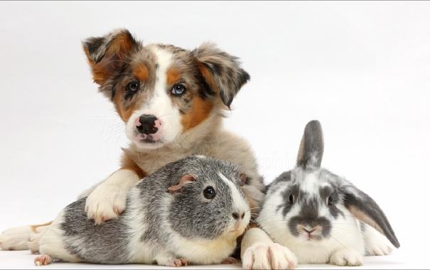 Фото обои animals, dog, bunny, friends, pig...