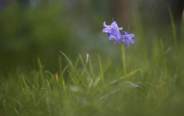 Фото обои цветок, трава, цветы, голубой, размытость