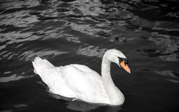 Фото обои белый, темный фон, контраст, грация, лебедь, водоем