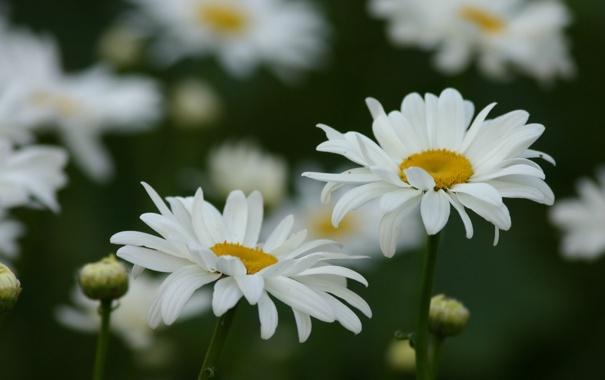 Фото обои поле, лето, макро, цветы, ромашки, лепестки, белые