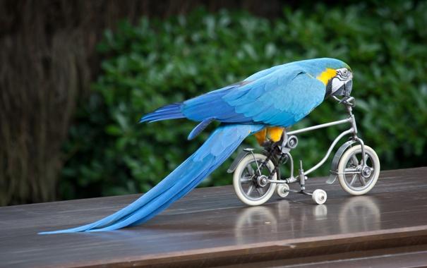 Фото обои велосипед, птица, попугай, ара