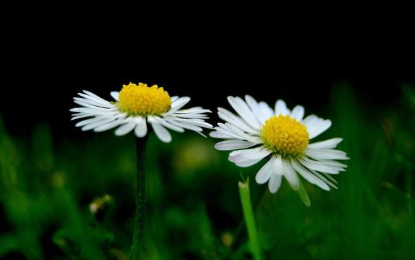 Фото обои поле, цветы, ромашки