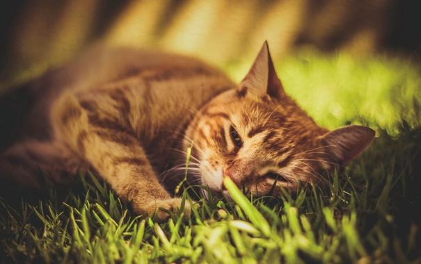 Фото обои трава, кот, кошак, рыжий, котяра