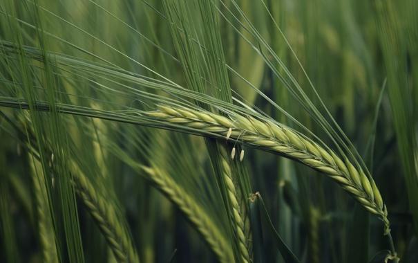 Фото обои поле, трава, природа, колоски, зелёный, колосья, макро фото