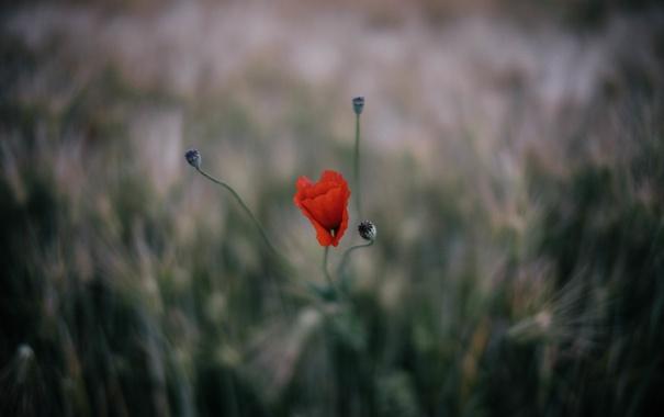 Фото обои цветы, мак, лепестки, красные