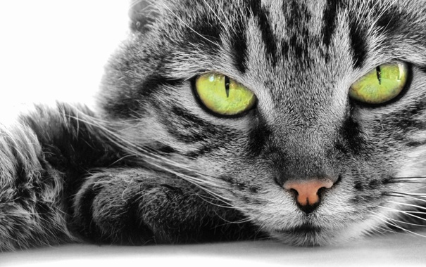 Фото обои взгляд, Кошка, белый фон