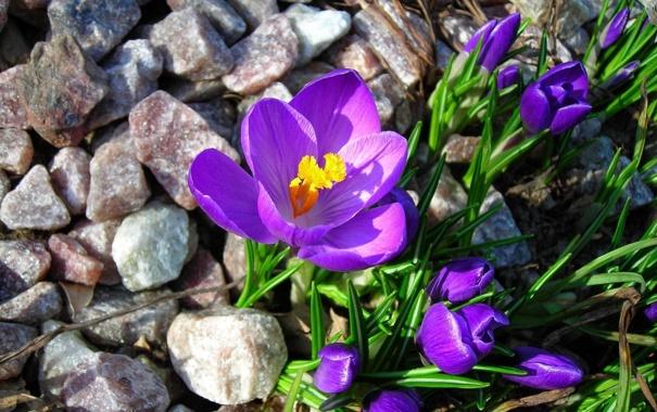 Фото обои цветы, камни, крокусы, бутоны