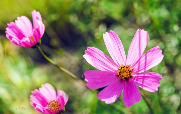 Фото обои цветы, розовый, обои, цвет, лепестки, ромашка, зелёный