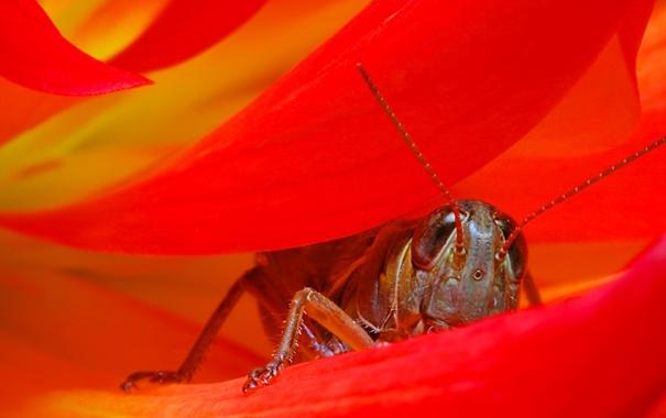 Фото обои цветок, насекомое, кузнечик, лепестки