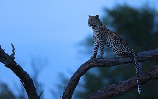 Фото обои ночь, природа, дерево, хищник, леопард, Африка