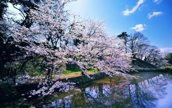 Фото обои весна, водоем, цветущая сакура