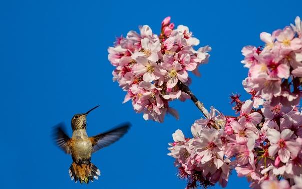 Фото обои небо, цветы, дерево, птица, весна, колибри, цветки