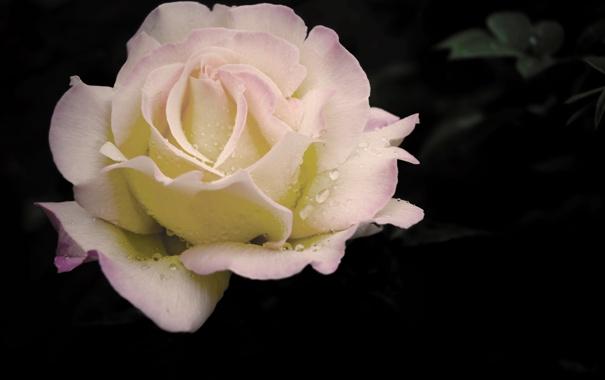 Фото обои цветок, капли, макро, роса, темно, роза, нежная