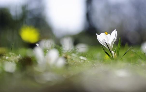 Фото обои белый, цветок, весна, травка, цветение, крокус