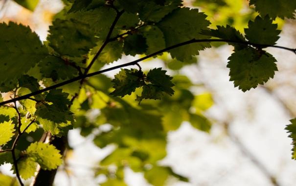 Фото обои зелень, свет, дерево, листва, ветка, листики, сочно