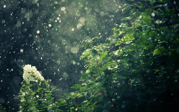 Фото обои цветы, природа, дождь, кусты