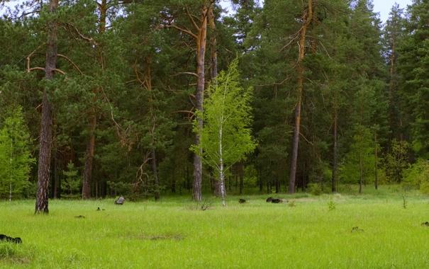 Фото обои лес, зеленый, береза, сосна, донецкая область