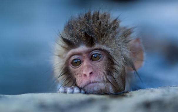 Фото обои природа, фон, обезьяна