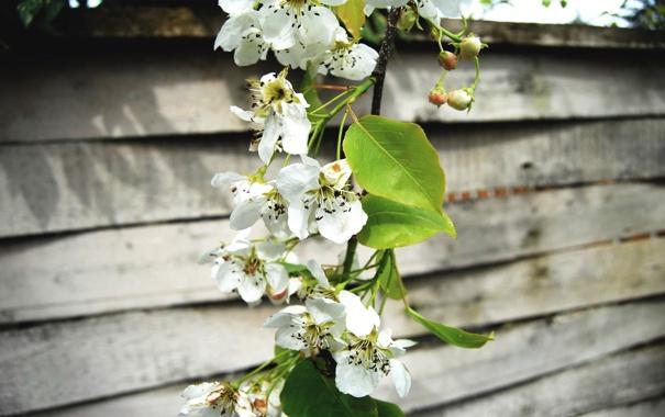 Фото обои вишня, цвет, весна