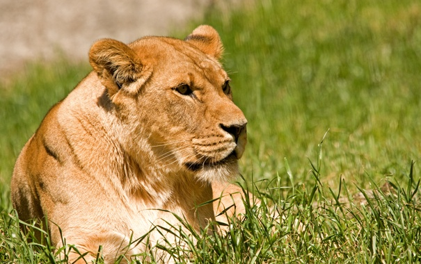 Фото обои кошка, трава, солнце, отдых, львица