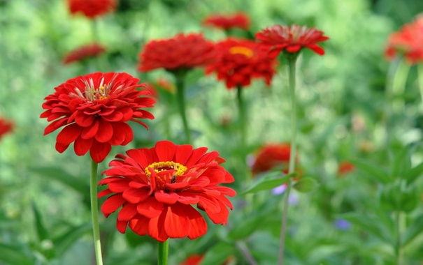 Фото обои цветы, flowers, red zinnia, красная цинния