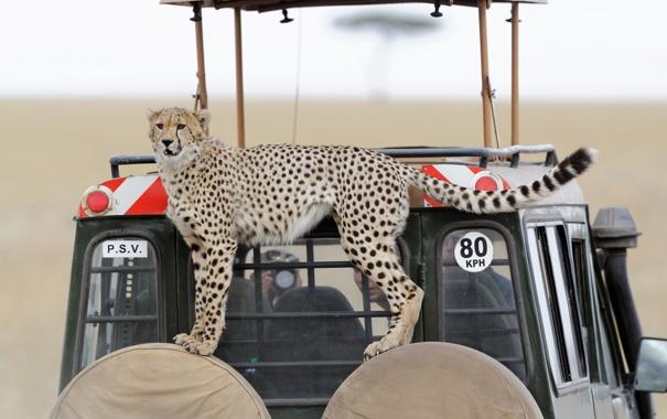 Фото обои кошка, взгляд, гепард, автомобиль