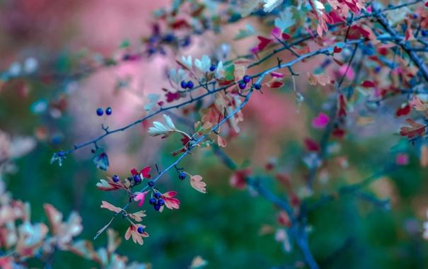 Фото обои ветки, природа, ягоды