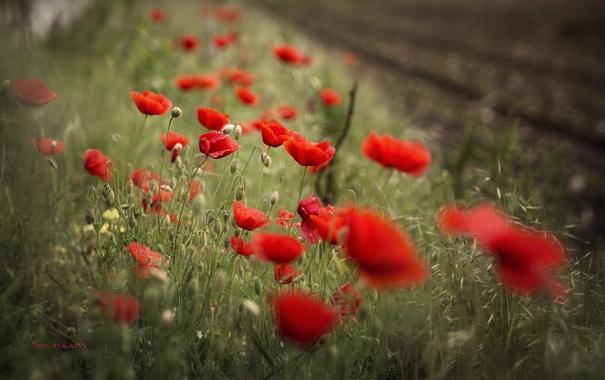 Фото обои макро, цветы, маки, лепестки, красные