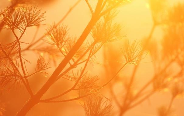 Фото обои солнце, макро, свет, оранжевый, веточка, ветка, хвоя