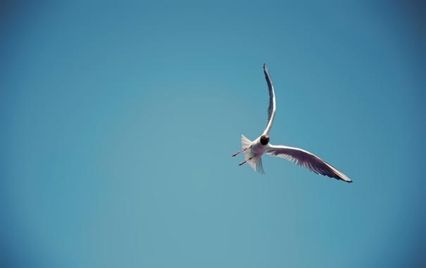 Фото обои высота, небо, небеса, крылья, полет, перья, Чайка