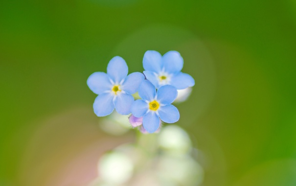 Фото обои фон, лепестки, голубые, незабудка
