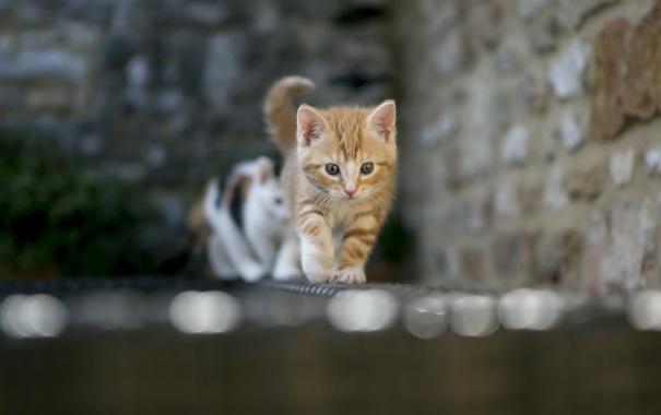 Фото обои фон, взгляд, кошка