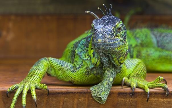 Фото обои ящерица, игуана, зелёная