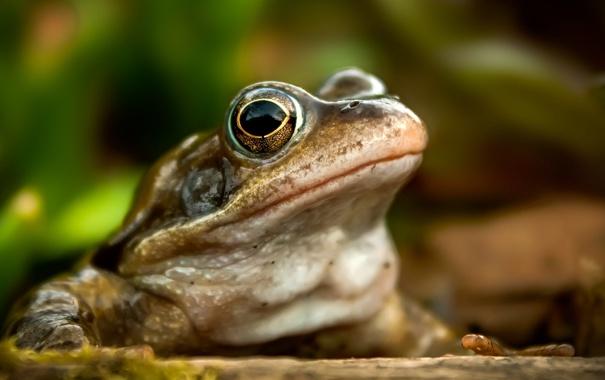Фото обои природа, фон, лягушка
