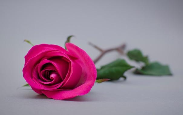 Фото обои цветы, фон, widescreen, обои, розовая, роза, лепестки