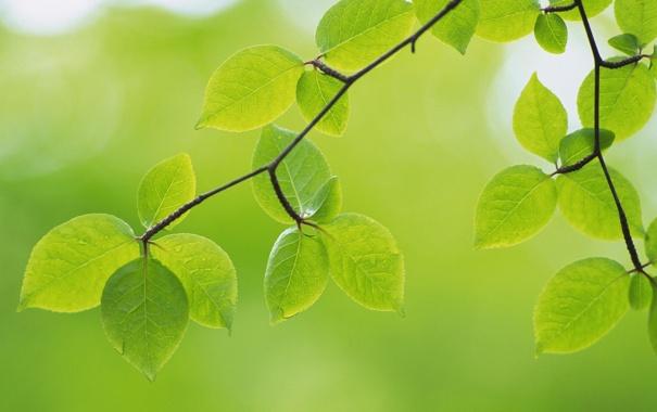 Фото обои зелень, листья, макро, природа, green, ветка, зеленые
