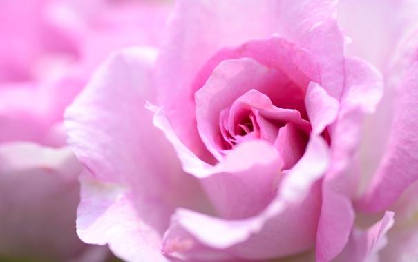 Фото обои макро, розовый, роза, лепестки