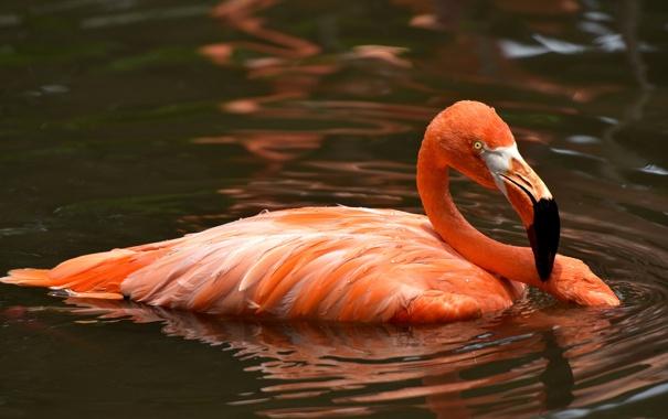 Фото обои вода, птица, перья, клюв, фламинго