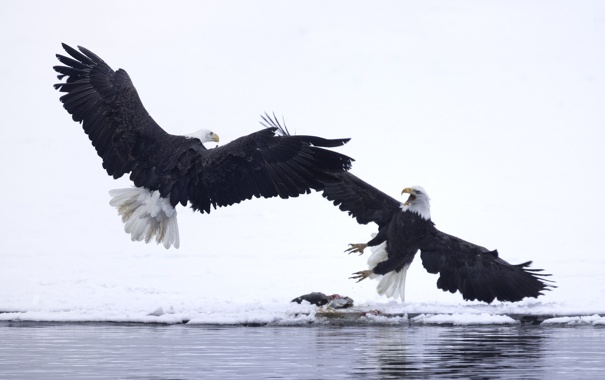 Фото обои зима, вода, снег, птицы, крылья, клюв, белоголовый орлан