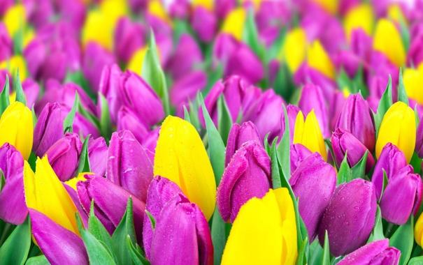 Тюльпаны на телефон обои