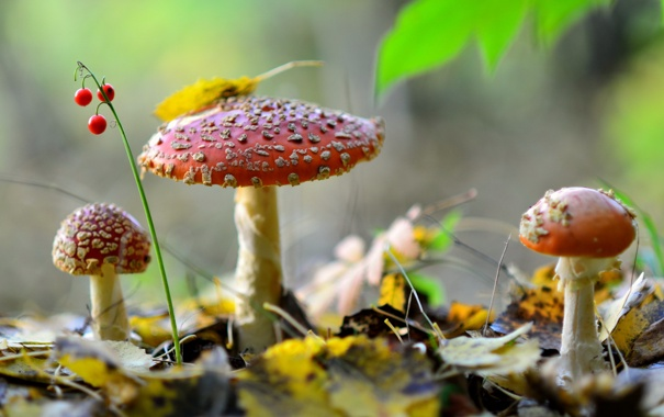 Фото обои лес, природа, грибы