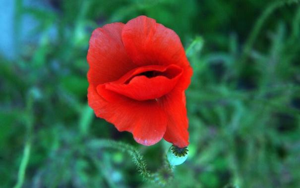 Фото обои цветок, красный, мак, лепестки