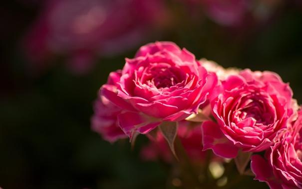 Фото обои макро, розы, бутоны