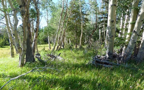 Фото обои лес, лето, трава, деревья, береза, осина