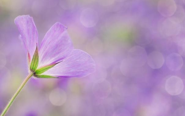 Фото обои цветок, макро, сиреневый, боке