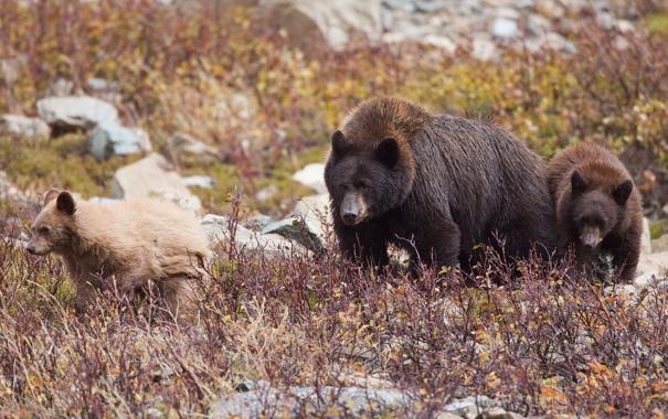 Фото обои медведи, медвежата, медведица, семейка