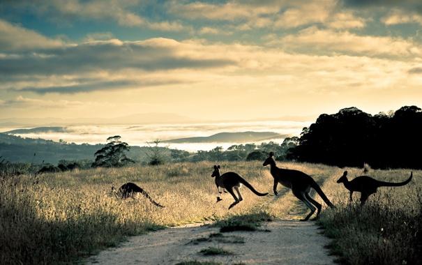 Фото обои road, hills, australia, Kangaroo