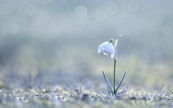 Фото обои подснежник, весна, макро, цветы