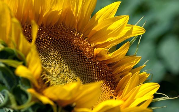 Фото обои цветок, жёлтый, подсолнух, соняшник