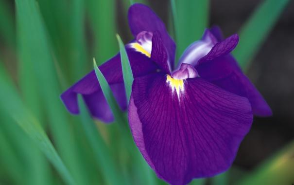 Фото обои цветок, фиолетовый, макро, растение, ирис